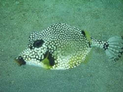 Puffer fish taken in Curacao with Canon Powershot A520 no... by Kelly N. Saunders 